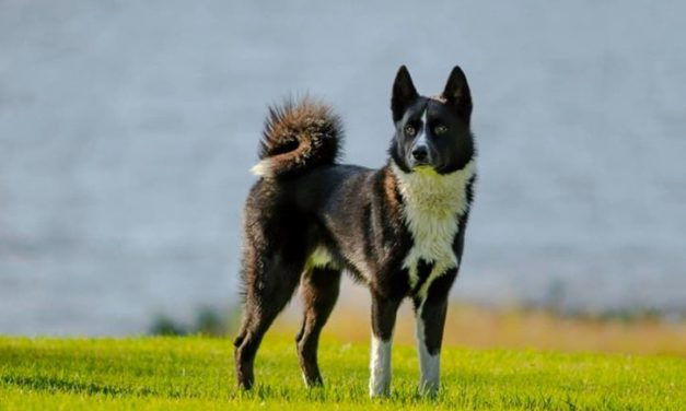 Premierade hundar